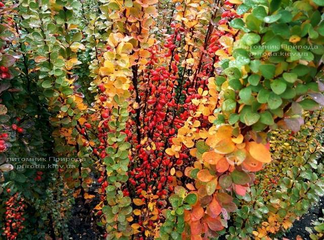 Барбарис Тунберга Эректа (Berberis thunbergii Erecta) ФОТО Питомник растений Природа Priroda (51)