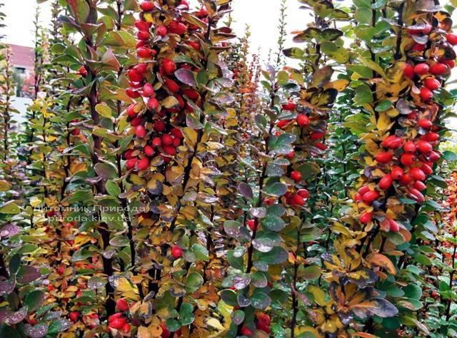 Барбарис Тунберга Эректа (Berberis thunbergii Erecta) ФОТО Питомник растений Природа Priroda (52)
