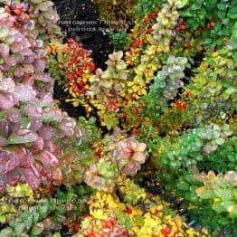Барбарис Тунберга Еректил (Berberis thunbergii Erecta) ФОТО Розплідник рослин Природа Priroda (54)