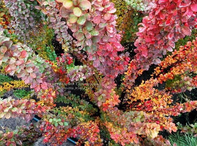 Барбарис Тунберга Эректа (Berberis thunbergii Erecta) ФОТО Питомник растений Природа Priroda (55)