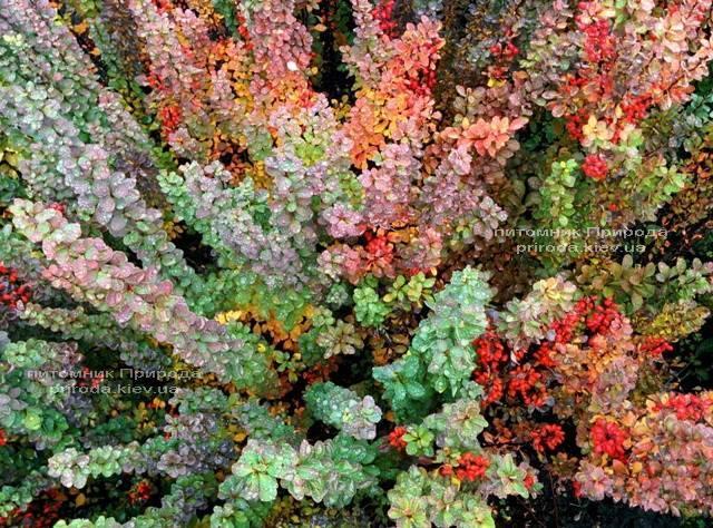 Барбарис Тунберга Эректа (Berberis thunbergii Erecta) ФОТО Питомник растений Природа Priroda (56)