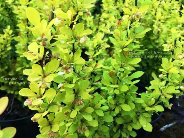 Барбарис Тунберга Марія (Berberis thunbergii Maria) ФОТО Розплідник рослин Природа Priroda (36)