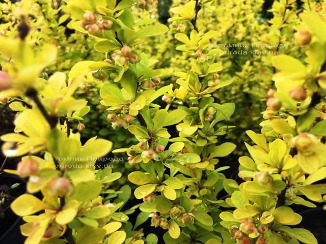 Барбарис Тунберга Мария (Berberis thunbergii Maria) ФОТО Питомник растений Природа Priroda (38)