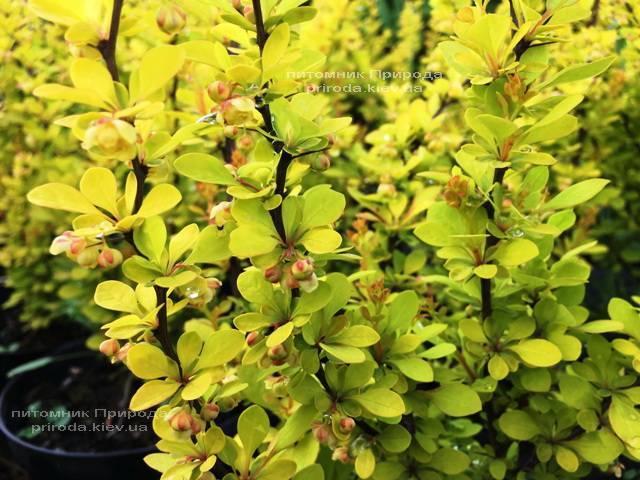 Барбарис Тунберга Мария (Berberis thunbergii Maria) ФОТО Питомник растений Природа Priroda (39)