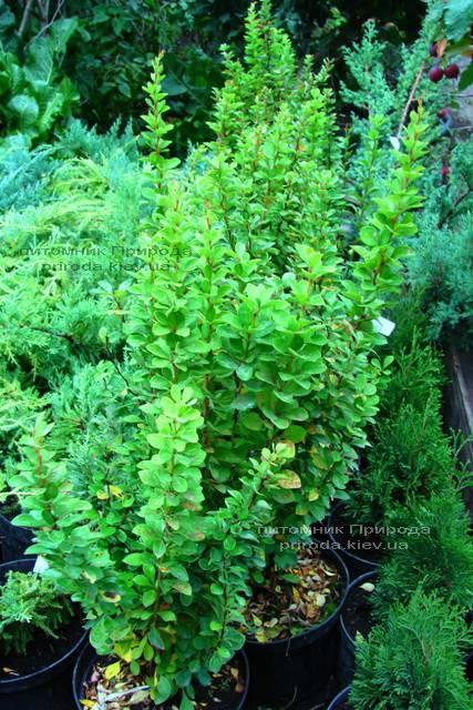 Барбарис Тунберга Паувау/Поувов (Berberis Thunbergii Powwow) ФОТО Питомник растений Природа Priroda (2)