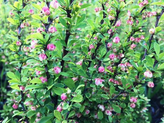 Барбарис Тунберга Паувау/Поувов (Berberis Thunbergii Powwow) ФОТО Питомник растений Природа Priroda (59)