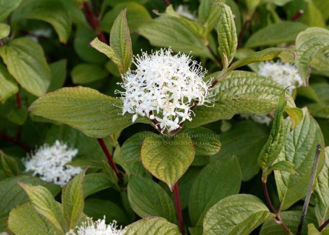 Дерен белый Сибирика (Cornus alba Sibirica) ФОТО Питомник растений Природа Priroda (9)