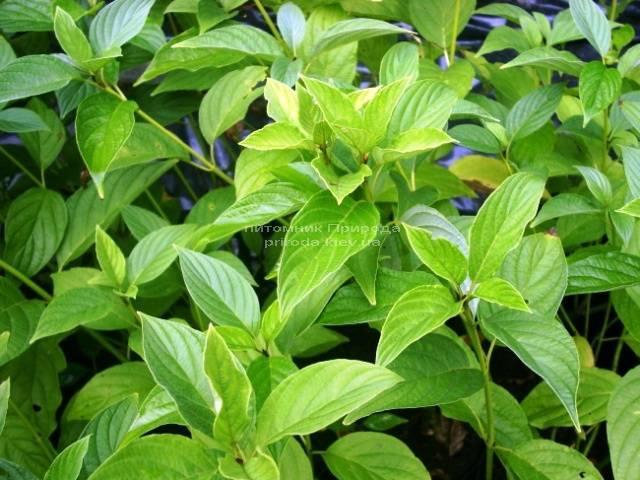Дерен отпрысковый Флавирамеа (Cornus stolonifera Flaviramea) ФОТО Питомник растений Природа Priroda (11)