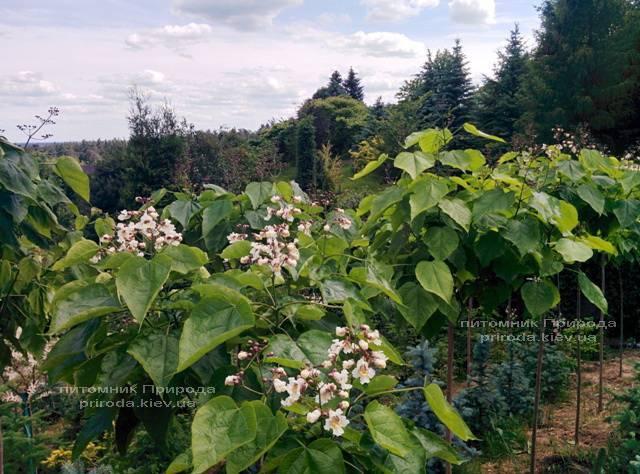 Катальпа чудова / прекрасна (Catalpa spesiosa) ФОТО Розплідник рослин Природа (Priroda) (5)