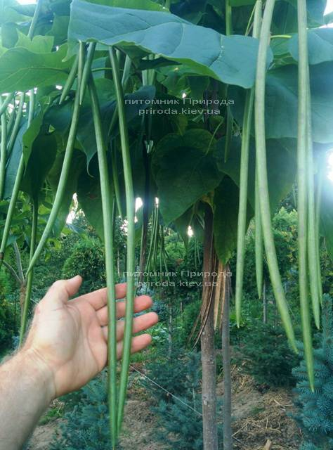 Катальпа великолепная / прекрасная (Catalpa spesiosa) ФОТО Питомник растений Природа (Priroda) (15)