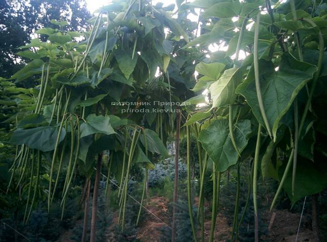 Катальпа чудова / прекрасна (Catalpa spesiosa) ФОТО Розплідник рослин Природа (Priroda) (6)