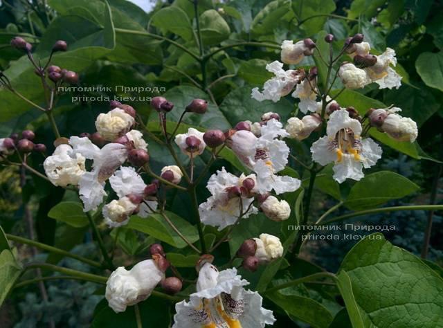 Катальпа чудова / прекрасна (Catalpa spesiosa) ФОТО Розплідник рослин Природа (Priroda) (7)