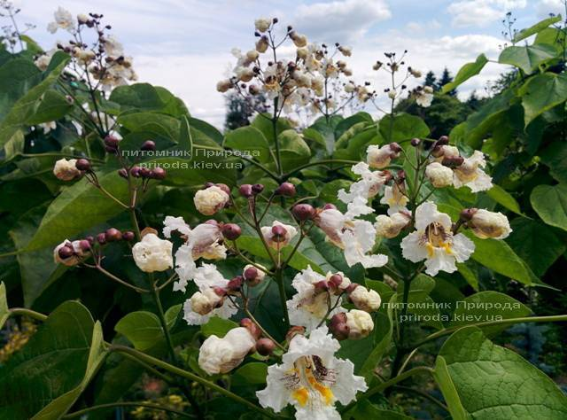 Катальпа чудова / прекрасна (Catalpa spesiosa) ФОТО Розплідник рослин Природа (Priroda) (8)