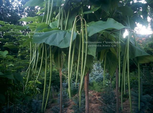 Катальпа чудова / прекрасна (Catalpa spesiosa) ФОТО Розплідник рослин Природа (Priroda) (10)