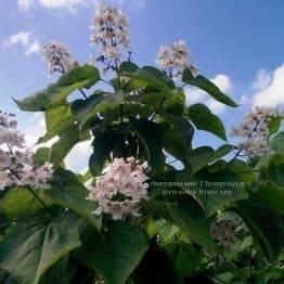 Катальпа чудова / прекрасна (Catalpa spesiosa) ФОТО Розплідник рослин Природа (Priroda) (11)
