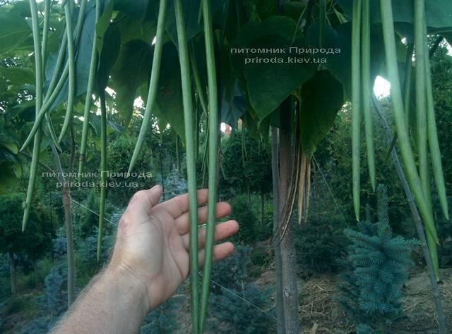 Катальпа чудова / прекрасна (Catalpa spesiosa) ФОТО Розплідник рослин Природа (Priroda) (12)