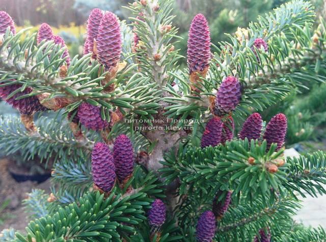Ялиця корейська (Abies koreana) ФОТО Розплідник рослин Природа Priroda (22)