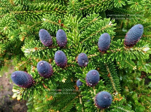 Пихта корейская (Abies koreana) ФОТО Питомник растений Природа Priroda (31)