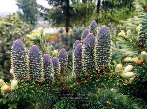 Пихта корейская (Abies koreana) ФОТО Питомник растений Природа Priroda (38)