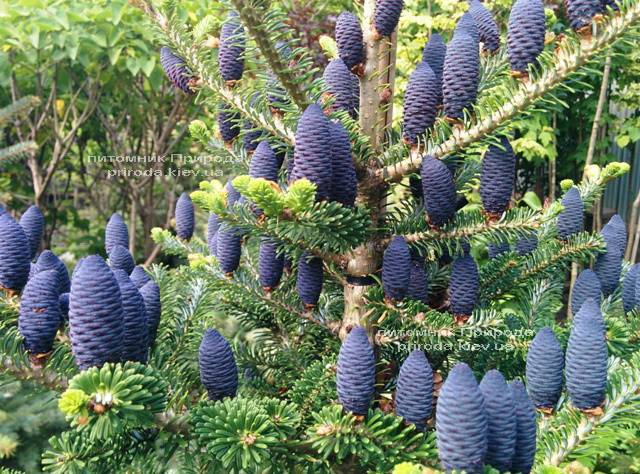 Пихта корейская (Abies koreana) ФОТО Питомник растений Природа Priroda (33)