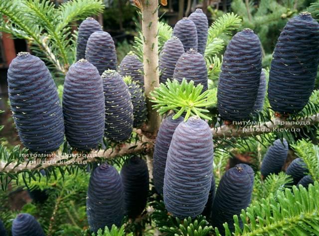 Ялиця корейська (Abies koreana) ФОТО Розплідник рослин Природа Priroda (27)