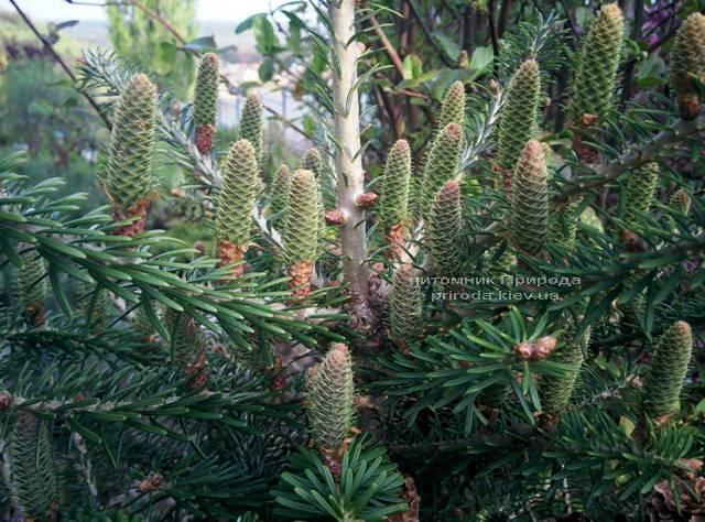 Ялиця корейська (Abies koreana) ФОТО Розплідник рослин Природа Priroda (23)