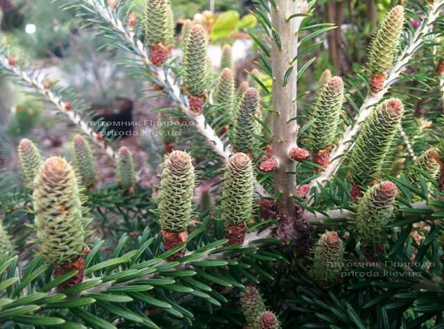 Пихта корейская (Abies koreana) ФОТО Питомник растений Природа Priroda (29)