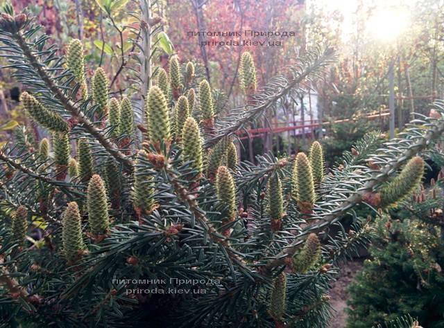 Ялиця корейська (Abies koreana) ФОТО Розплідник рослин Природа Priroda (35)