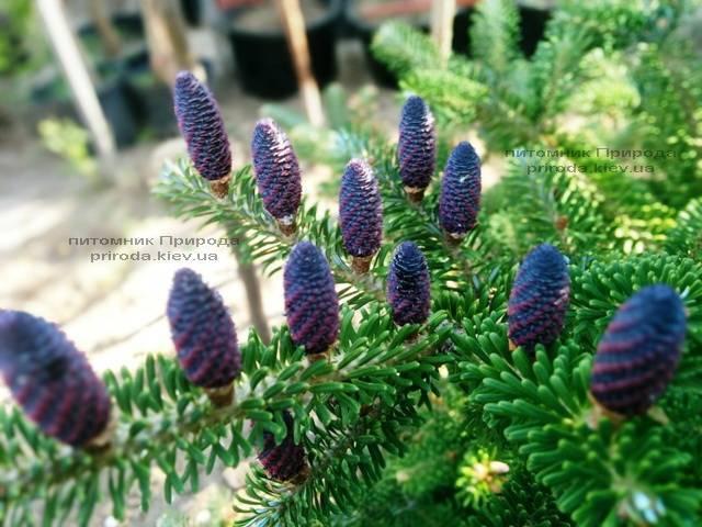 Ялиця корейська (Abies koreana) ФОТО Розплідник рослин Природа Priroda (36)