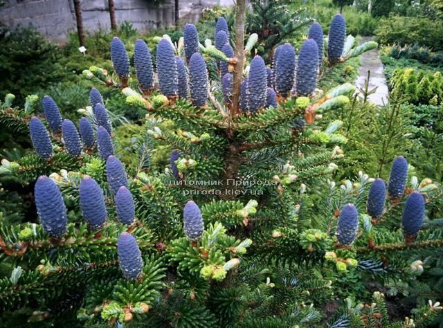 Ялиця корейська (Abies koreana) ФОТО Розплідник рослин Природа Priroda (24)