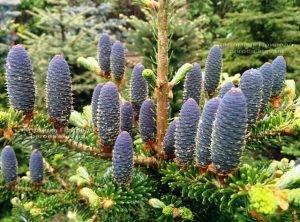 Пихта корейская (Abies koreana) ФОТО Питомник растений Природа Priroda (30)