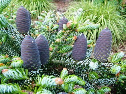 Ялиця корейська Сілберлок (Abies koreana Silberlocke) ФОТО Розплідник рослин Природа Priroda (47)