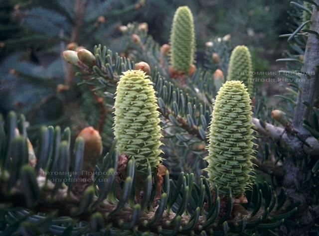 Пихта корейская Силберлок (Abies koreana Silberlocke) ФОТО Питомник растений Природа Priroda (56)