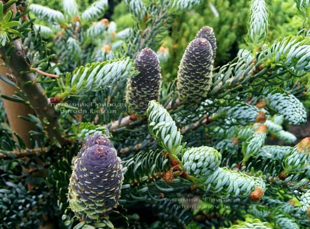 Ялиця корейська Сілберлок (Abies koreana Silberlocke) ФОТО Розплідник рослин Природа Priroda (57)