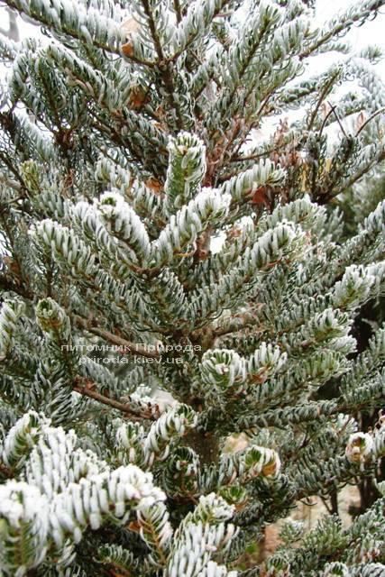 Пихта корейская Силберлок (Abies koreana Silberlocke) ФОТО Питомник растений Природа Priroda (52)