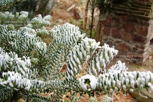 Пихта корейская Силберлок (Abies koreana Silberlocke) ФОТО Питомник растений Природа Priroda (55)