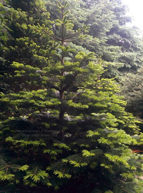 Пихта Нордмана/кавказская (Abies Nordmanniana) ФОТО Питомник растений Природа Priroda (41)