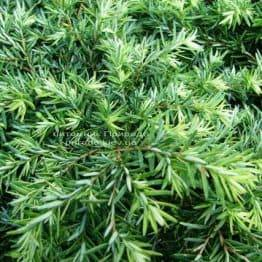 Тсуга канадська Джедделох (Tsuga canadensis Jeddeloh) ФОТО Розплідник рослин Природа Priroda (5)