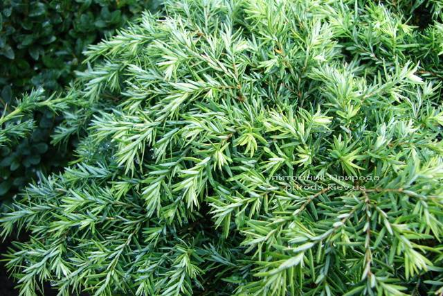 Тсуга канадская Джедделох (Tsuga canadensis Jeddeloh) ФОТО Питомник растений Природа Priroda (7)