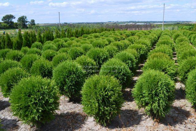 Туя западная Глобоза (Thuja occidentalis Globosa) ФОТО Питомник растений Природа Priroda (26)