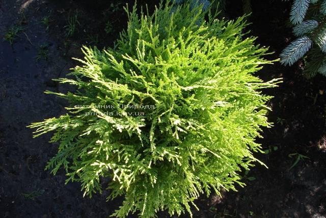 Туя западная Глобоза (Thuja occidentalis Globosa) ФОТО Питомник растений Природа Priroda (29)