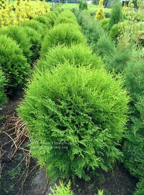 Туя західна Глобоза (Thuja occidentalis Globosa) ФОТО Розплідник рослин Природа Priroda (30)