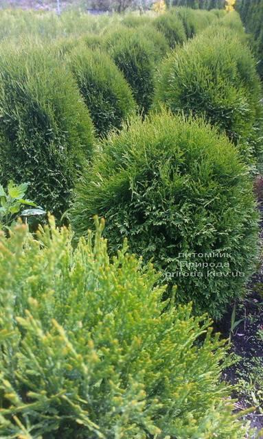 Туя західна Літл Джайант (Thuja occidentalis Little Giant) ФОТО Розплідник рослин Природа Priroda (32)