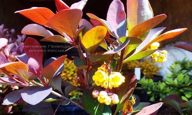 Барбарис звичайний Атропурпуреа (Berberis vulgaris Atropurpurea) ФОТО Розплідник рослин Природа Priroda (72)