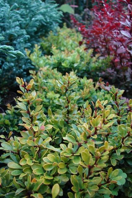 Барбарис Тунберга Кобольд (Berberis thunbergii Kobold) ФОТО Розплідник рослин Природа Priroda (68)