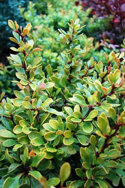 Барбарис Тунберга Кобольд (Berberis thunbergii Kobold) ФОТО Розплідник рослин Природа Priroda (69)