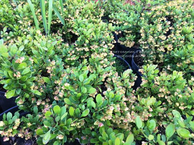 Барбарис Тунберга Кобольд (Berberis thunbergii Kobold) ФОТО Розплідник рослин Природа Priroda (70)