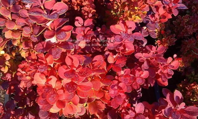 Барбарис Тунберга Оранж Рокет (Berberis thunbergii Orange Rocket) ФОТО Розплідник рослин Природа Priroda (67)