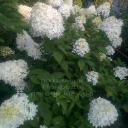 Гортензія волотисте Лаймлайт (Hydrangea paniculata Limelight) ФОТО Розплідник рослин Природа Priroda (1)