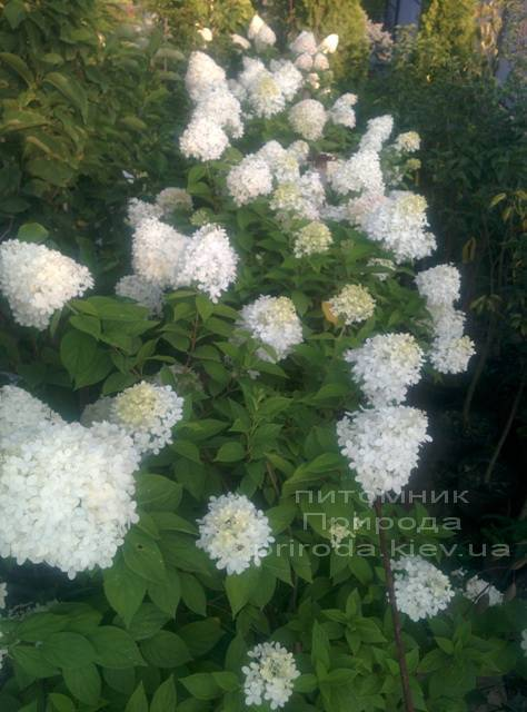 Гортензія волотисте Лаймлайт (Hydrangea paniculata Limelight) ФОТО Розплідник рослин Природа Priroda (2)
